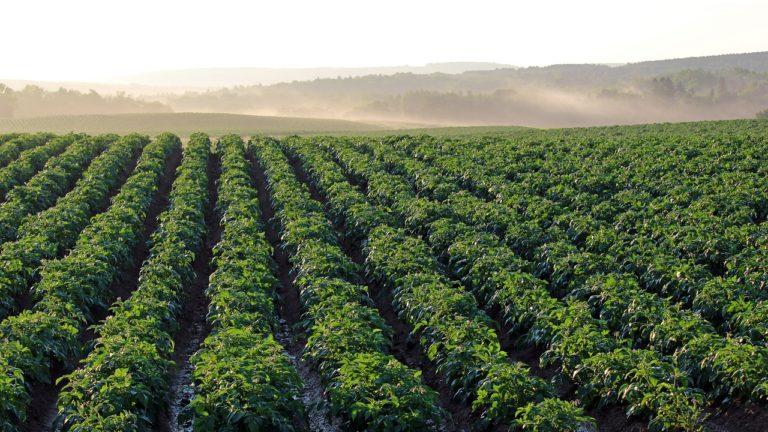 Dlaczego ziemniaki mogą nam nie zawsze urosnąć?